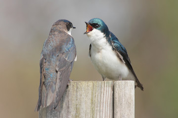 Fotoväggar - Pair of Tree Swallows (tachycineta bicolor)