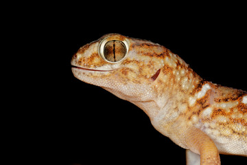 Giant ground gecko (Chondrodactylus angulifer)