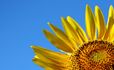 Sunflower on a background of the dark blue sky
