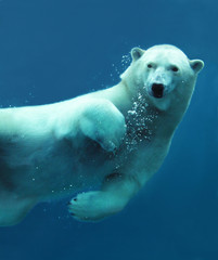 Fotorolgordijn Ijsbeer Polar bear underwater close-up