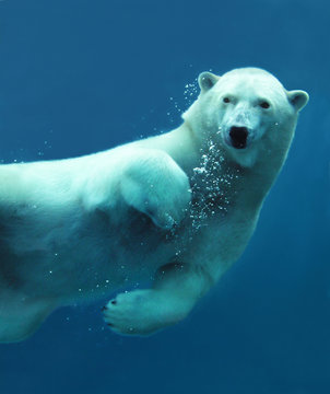Polar bear underwater close-up