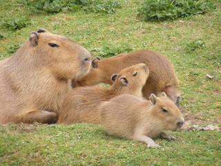 Mother Capybara