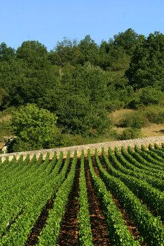 Alignement de vigne en Bourgogne