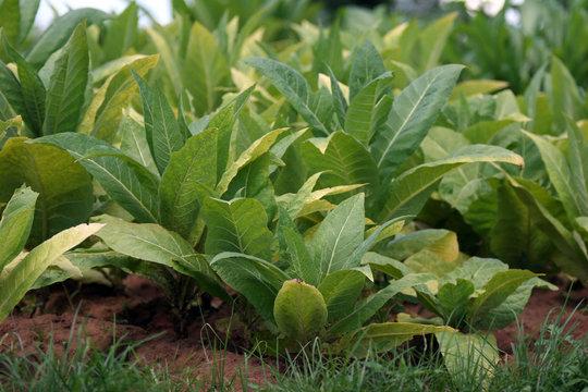 Plantation plants in Malawi