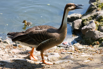 Goose in nature