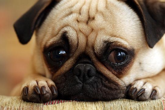 Sad Pug Puppy