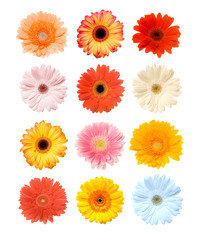 Poster Gerbera Colorful Gerbera