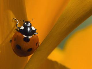 1896420aa367 Mariquita en flor naranja