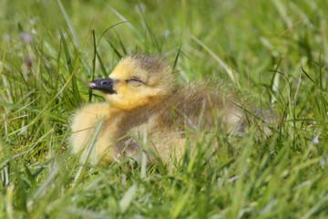 Cute Baby Canada Goose (Branta canadensis)