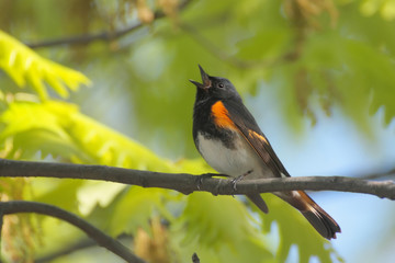 American Redstart (Setophaga ruticilla) Singing