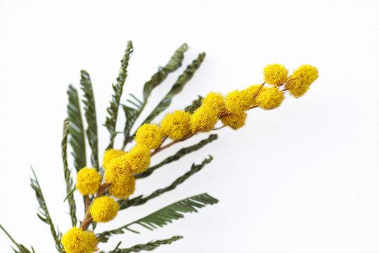 yellow mimosa flowers on white