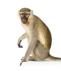 Fotorolgordijn Aap Vervet Monkey - Chlorocebus pygerythrus