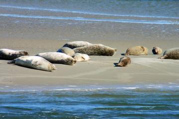 Seehunde an der Nordsee