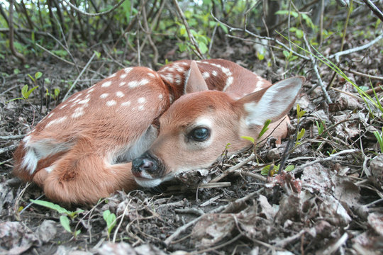 Baby whitetail deer fawn laying in the forest