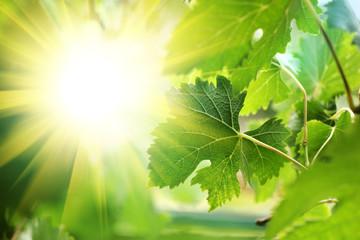 Wall Mural - Sun shining through grapevine leaves