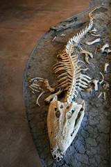 Croc Skeleton - Kakadu National Park, Australia