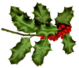 a sprig of holly isolated on a white background