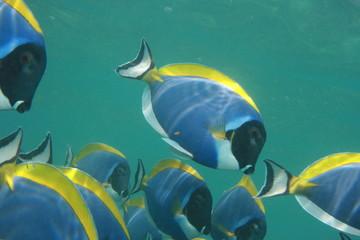 Weißkehl-Doktorfische - Malediven