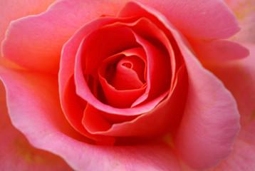 Macro  Photo of a pretty rose.