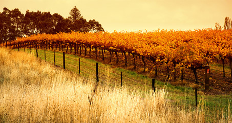 Wall Mural - Orange Vineyard