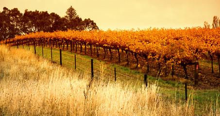 Fototapete - Orange Vineyard