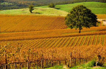 Wall Mural - Autumn Vineyard