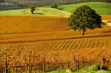 Fototapete - Autumn Vineyard
