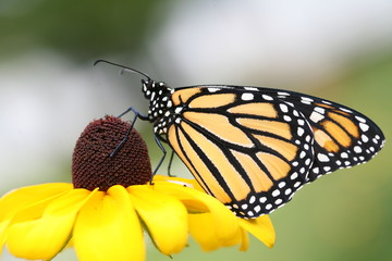 Monarch butterfly sipping nectar from a Brown Eyed Susan flower.