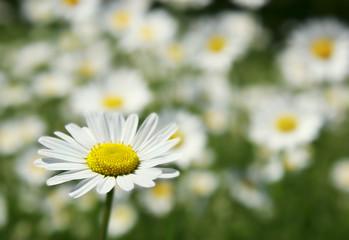 daisy flower on field background