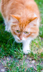 Cat take a walk on the grass close up (series Animals)