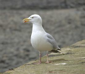 Male Seagull