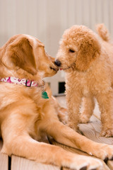 Labradoodle puppy and golden retriever.