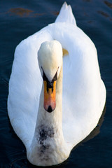 Swan front