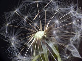 Dandelion in space
