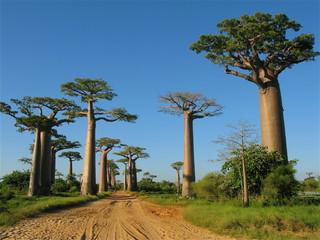 Poster Baobab
