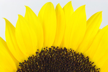 Sunflower blossom macro.