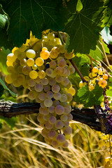 Late summer grapes