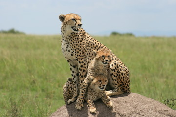 Cheetah and cubs on posing on ant mound