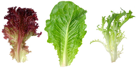 Red leaf lettuce, romaine and endive leaf