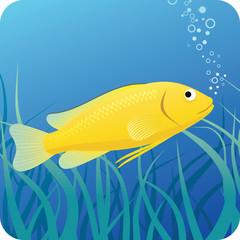 Electric yellow labido fish under water