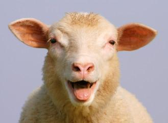 Fond de hotte en verre imprimé Sheep Schaf