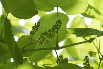 Flowers of vine