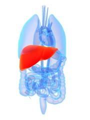 organ anatomie mit leber