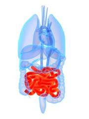 organ anatomie mit darm