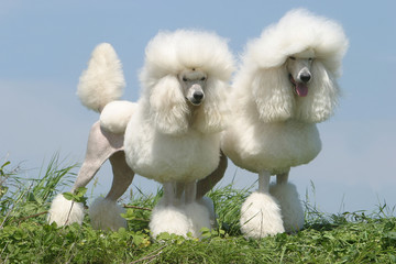 Caniche poodle