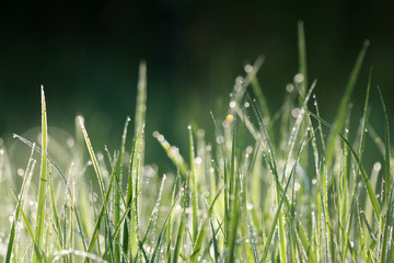 Texture of grass in morning's dew