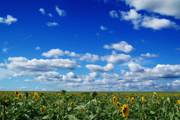 The field of sunflower