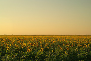 The field of sunflower at sunset