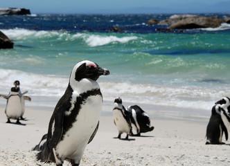 penguins near Simon's Town,South Africa