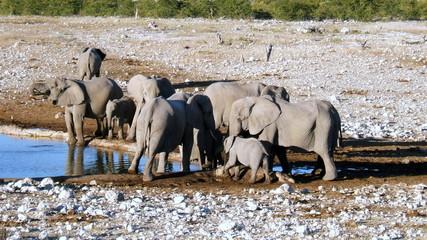 Troupeaux d'éléphants en Afrique du Sud